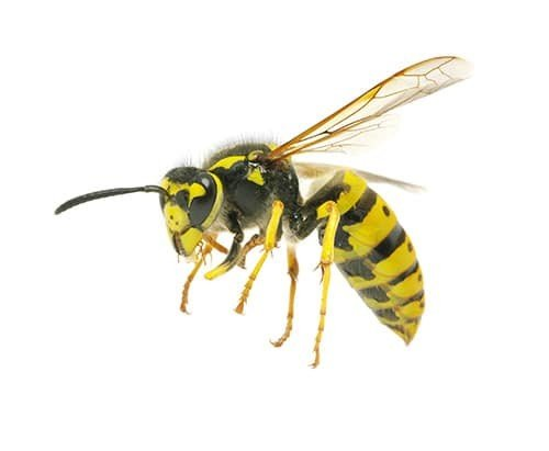 Pest Control For Yellowjackets Bees & Wasps
