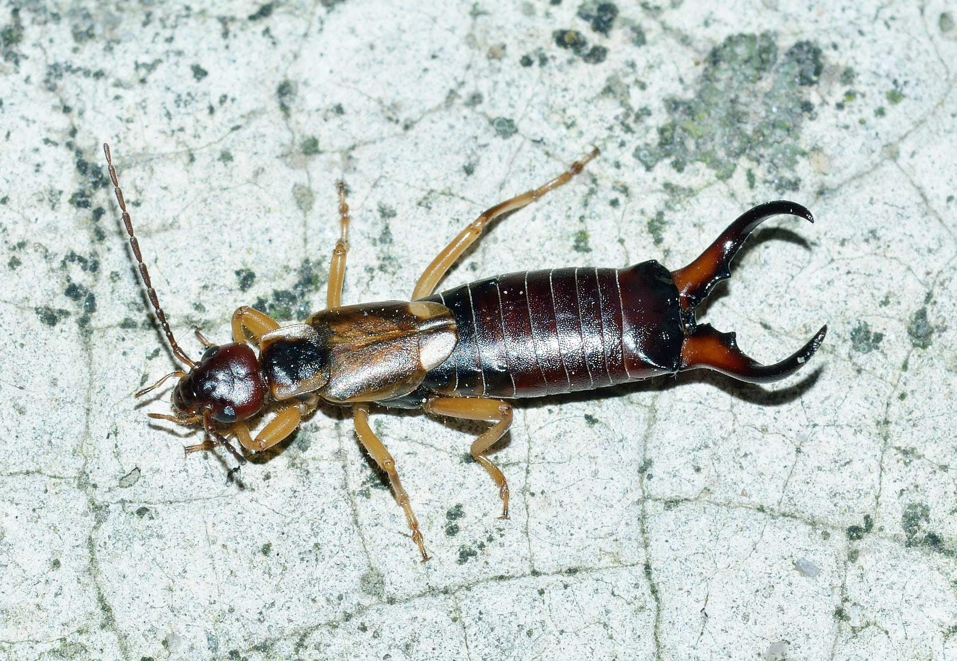 What you can do to prepare for earwig season
