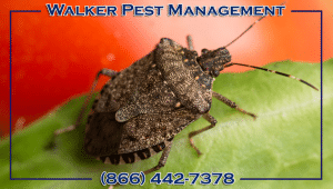 Brown Marmorated Stink Bugs – The Fall Invaders