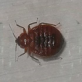 How to avoid bed bugs while traveling for Thanksgiving