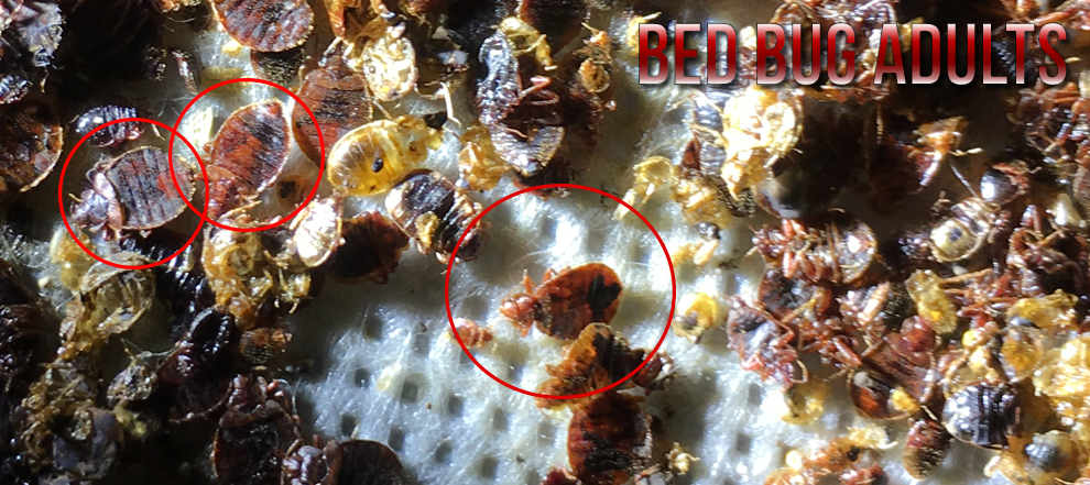 bed bug adults, dead bed bugs