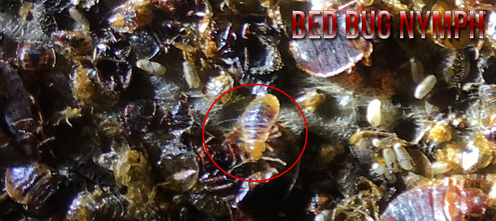 bed bug nymph