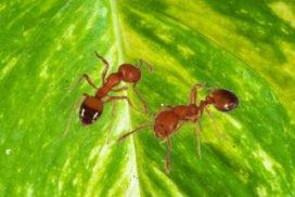 Pharaoh ants1