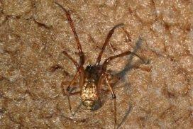 House Spider - Parasteatoda tepidariorum