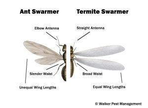 Flying Ants or Termite Swarmers. Do you know the difference?