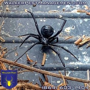 Are Black Widow Spiders Dangerous?