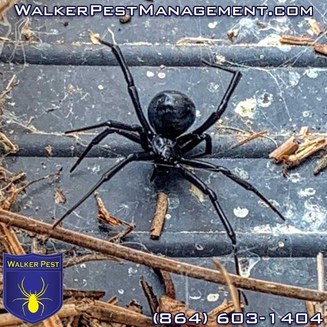 Are Black Widow Spiders Dangerous?