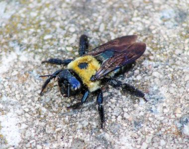 Carpenter Bee Female
