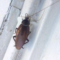 smokey brown cockroach1
